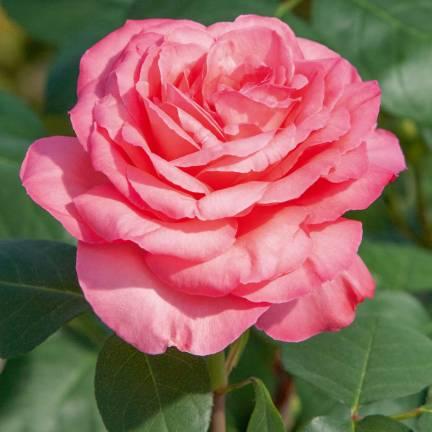 Rosier arbustif Panthere Rose® 'Meicapinal'