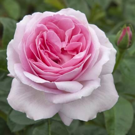 Rosier arbustif Pink Eureka® 'Meiagadou'