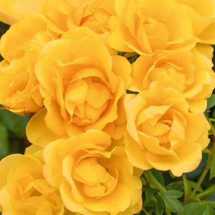 Rosier arbustif Rayon De Soleil® 'Meianycid'
