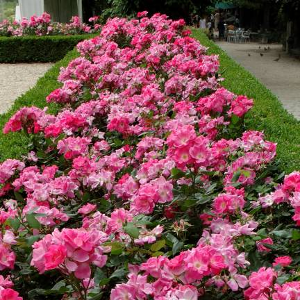 Rosier arbustif Rodin® 'Meigadraz'