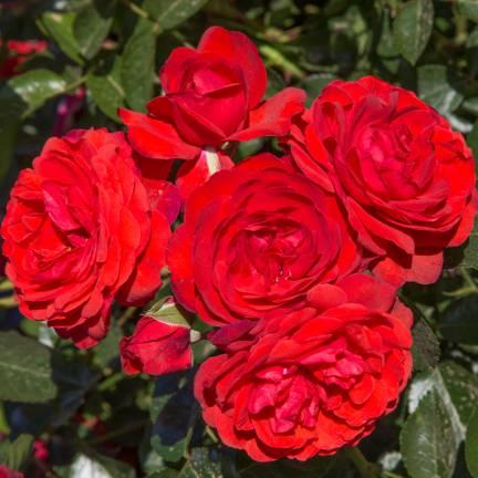 Rosier arbustif Scarlet Bonica® 'Meiscarlebo'