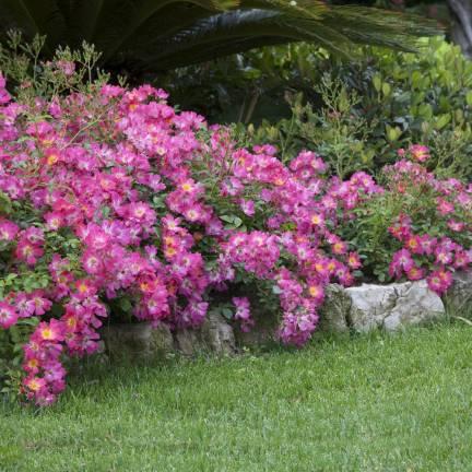 Rosier arbustif Pink Drift® 'Meijocos'