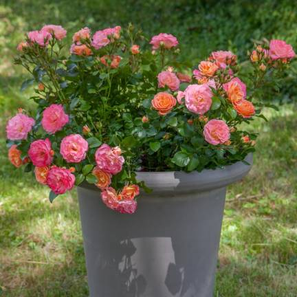 Rosier arbustif Peach Drift® 'Meiggili'