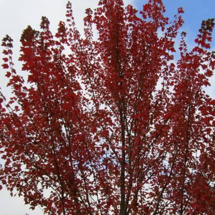 Érable rouge Brandywine