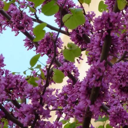 Cercis, Gainier silicastre, arbre de judée siliquastrum