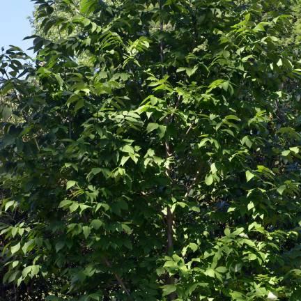 Frêne blanc