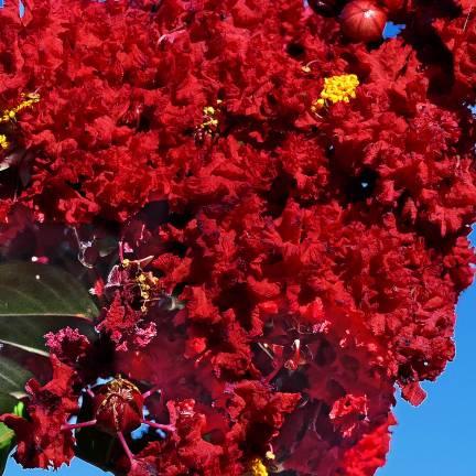 Lilas des Indes indica Rouge