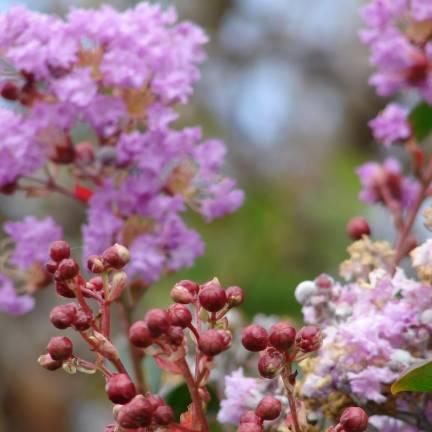 Lilas des Indes indica Violet