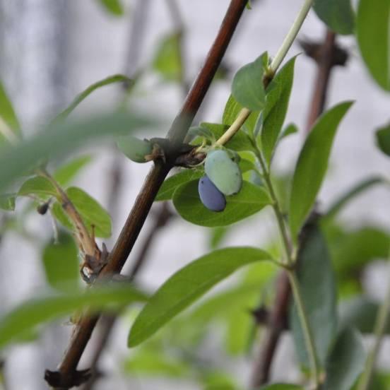 Baie de mai caerulea var. Kamtschatica Fruity Berry®