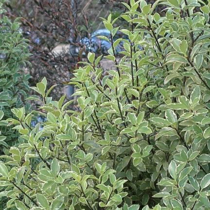 Pittospore à petites feuilles Variegatum