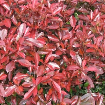 Photinia x fraseri Little Red Robin
