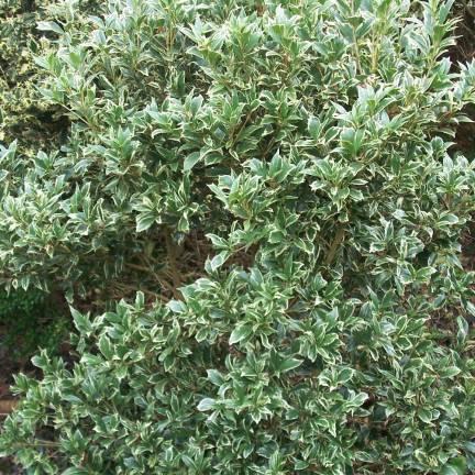 Osmanthe heterophyllus Variegatus