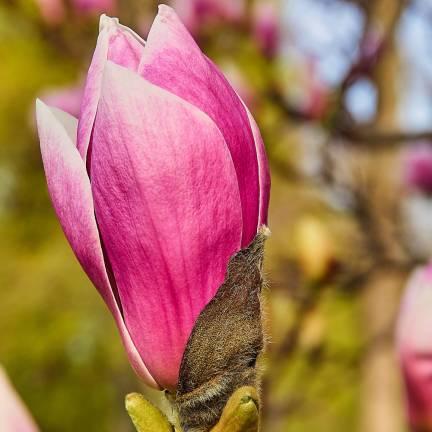 Magnolia à fleurs de lis Nigra