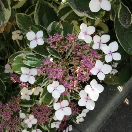 Hortensia macrophylla Tricolor