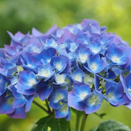 Hortensia macrophylla Bleu