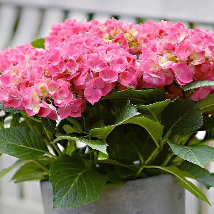 Hortensia macrophylla Rose