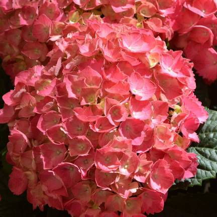 Hortensia macrophylla Rouge