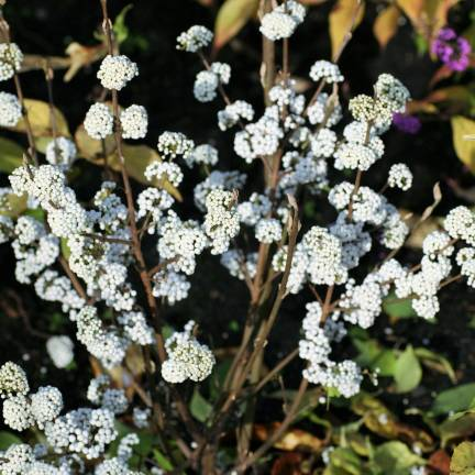 Arbuste aux bonbons Magical® Snowstar 'Kolmsnostar'