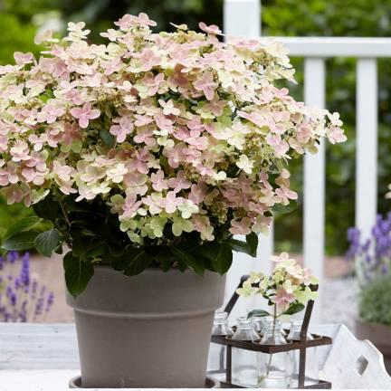 Hortensia paniculata Polestar® 'Breg14'