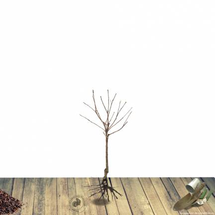Cerisier nain pleureur racines nues Griotella® 'Frumi'