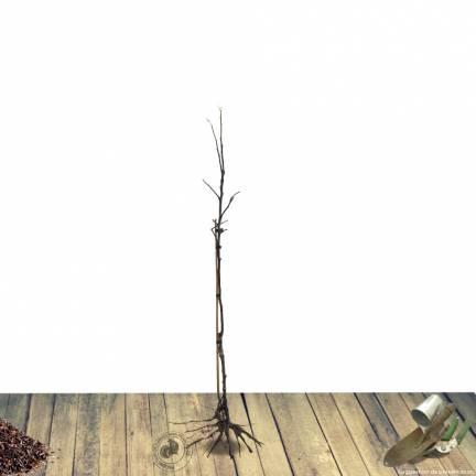 Cerisier racines nues colonnaire  Shangai®