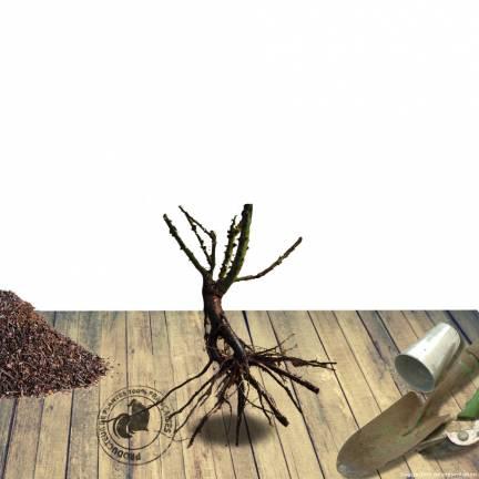 Pêcher nain racines nues Crimson® 'Bonfire'