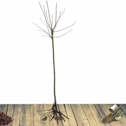 Nectarinier racines nues Mesembrine