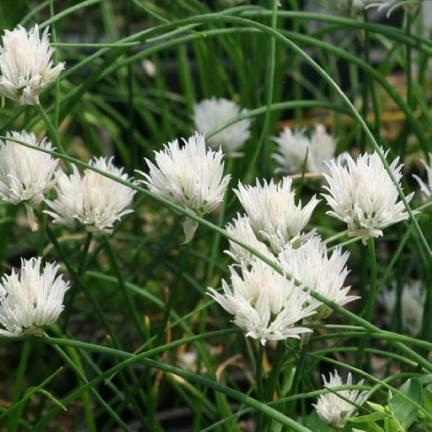 Ciboulette blanche Corsican White