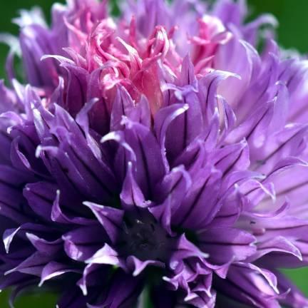 Ciboulette Purple One