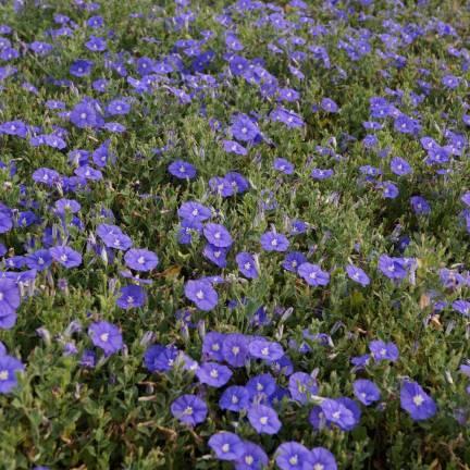 Liseron Blue Cascade