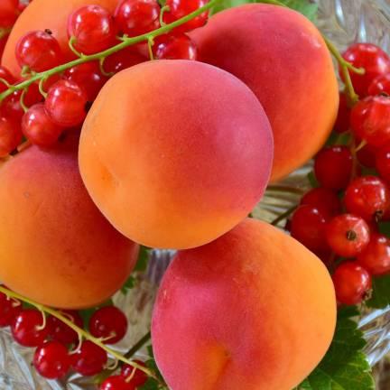 Abricotier armeniaca Rouge du Roussillon