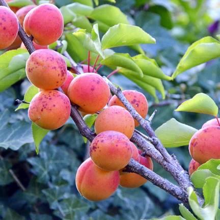 Abricotier armeniaca Doucoeur® 'Anderheart'