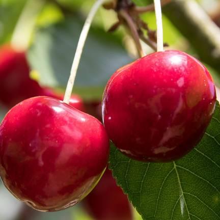 Cerisier racines nues Bigarreau Coeur de Pigeon