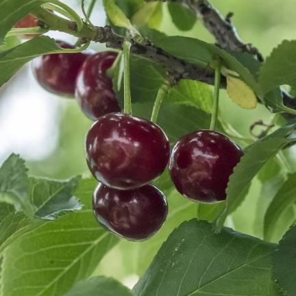 Cerisier racines nues Bigarreau Hâtif Delbard® 'Rivedel'