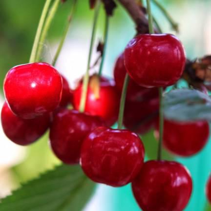 Cerisier nain racines nues Garden Bing®
