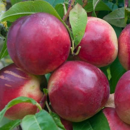 Nectarinier racines nues Nectared 6