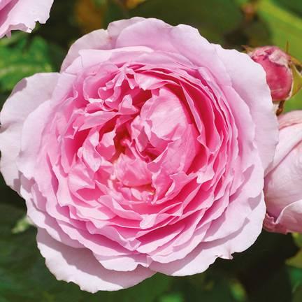 Rosier arbustif André Eve le jardinier des roses® 'Evegeboll'