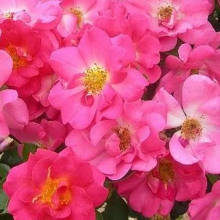 Rosier grimpant Rose bonbon® 'Evefrais'