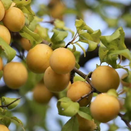 Prunier nain racines nues Reinegold®