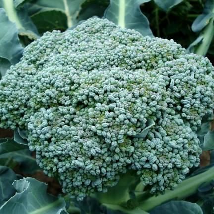 Graines de Chou brocoli Calabrais