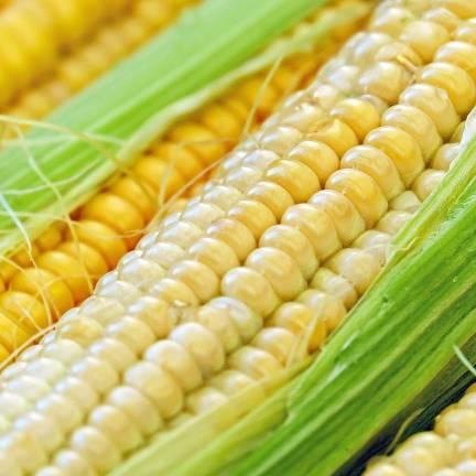 Graines de Mais Golden Bantam