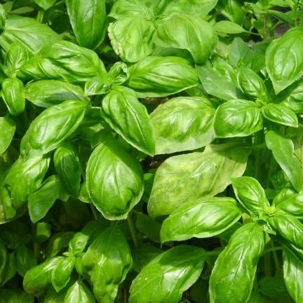 Graines de Basilic Grand vert