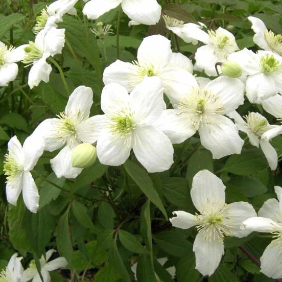 Clématite montana Grandiflora