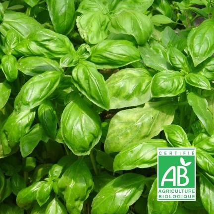 Graines de Basilic Grand vert BIO