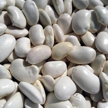 Graines de Haricot nain flageolet Chevrier vert à écosser