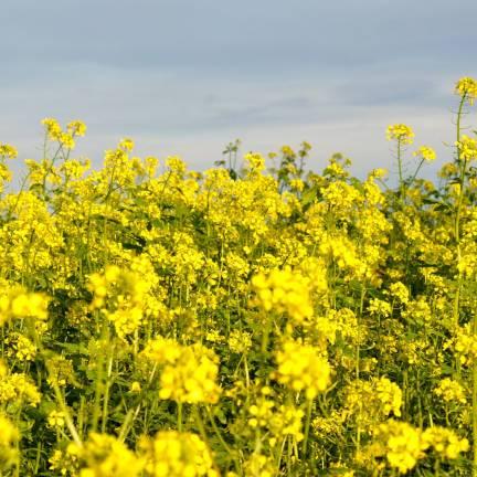 Graines de Moutarde blanche