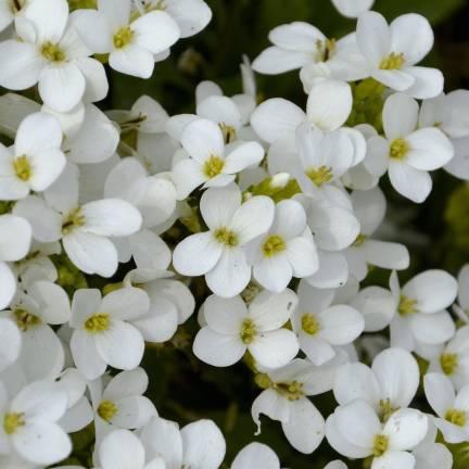 Graines d'Alysse odorante blanche