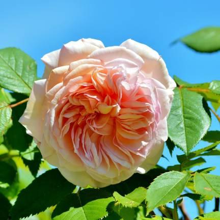 Rosier arbustif Amélie Nothomb® 'Delathom'