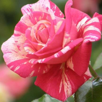 Rosier 1/2 tige Claude Monet® 'Dacdesa'
