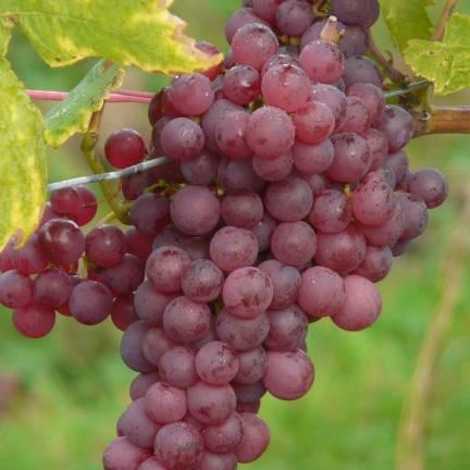 Vigne vinifera Chasselas Rosé
